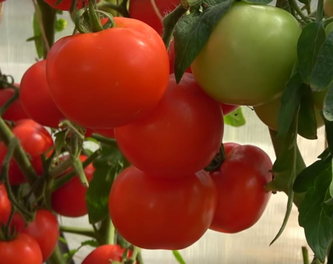 помидоры любаша описание сорта