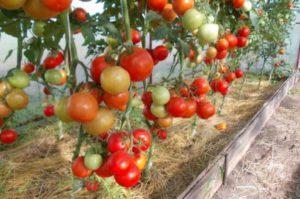 Описание сорта томатов Евпатор