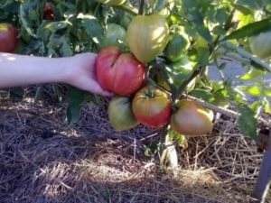 Сорт томата Вельможа с фото и описанием