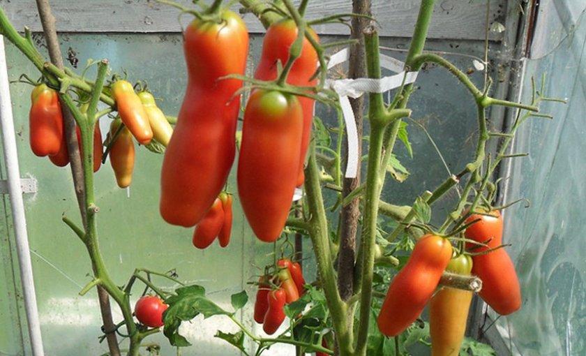чек-ю разводит помидоры сорта аурия фото визуально состоит