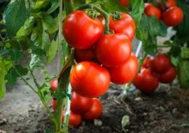 Сорт томатов Таня: характеристика и описание, фото