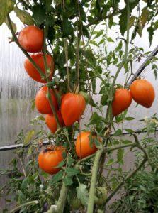 Сорт томата Оранжевое сердце: описание и фото