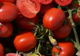 Сорт томата Снежный барс: фото и описание