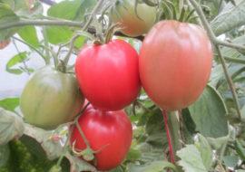 Сорт томатов Первоклашка: описание и фото
