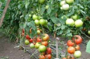 Томат Надежда F1: характеристика и описание сорта, фото, урожайность