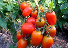 Сорт томатов Новичок розовый: описание и фото