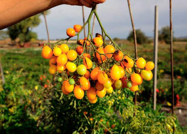 Сорт томата Ильди: описание и фото