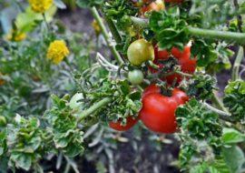 Колоновидные помидоры Палка: описание сорта с фото