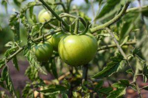 Томат Кукла F1: описание сорта, фото, урожайность