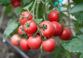 Сорт томата Подарок женщине: фото и описание