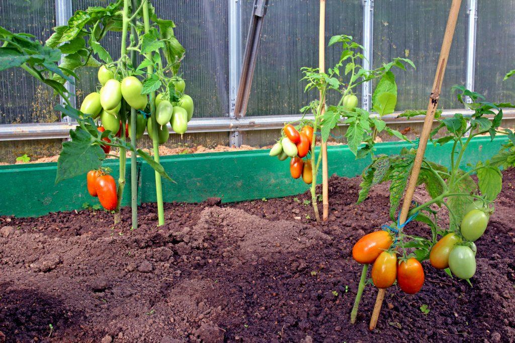 этот раз томат сибирская тройка фото отзывы любви один