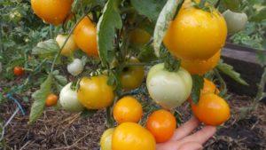 Помидоры Апельсин: описание сорта, фото