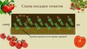 Помидоры Анюта: описание сорта, фото