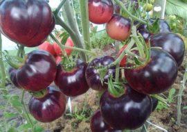 Помидоры Аметистовая драгоценность: описание сорта, фото, урожайность