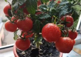 Помидоры Красная шапочка: фото и описание
