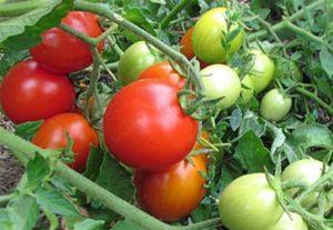 Томат Иришка F1: характеристика и описание сорта, фото, урожайность