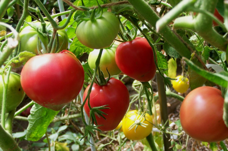 розовые томаты для теплиц отзывы