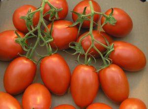 Помидоры Рома F1: описание сорта, фото, урожайность