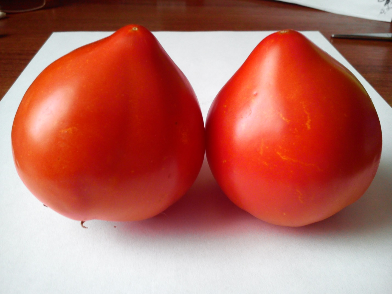 сорт помидор хали