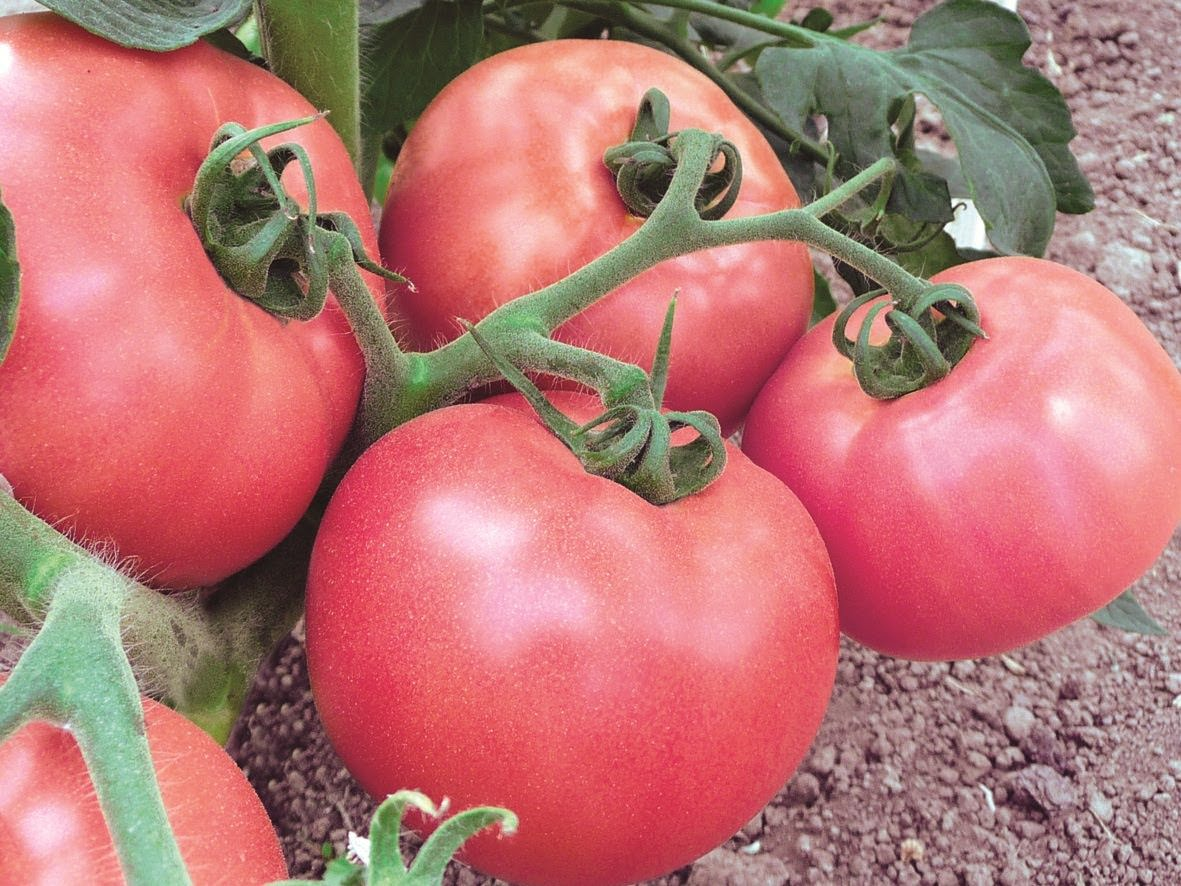центр томат чудо земли описание сорта фото отзывы новые