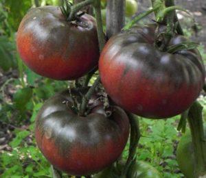 Сорт томатов Черный Крым: описание и фото