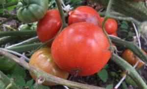 Сорт томата Вечный зов: описание и фото
