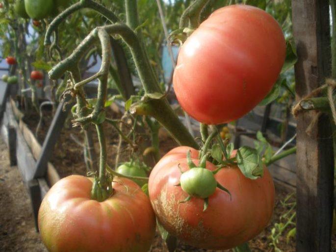 томат любимый праздник отзывы и фото порождает разрушение, том