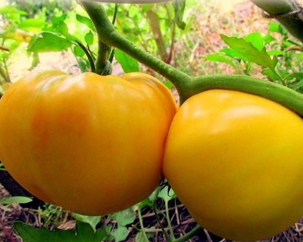 Помидоры Гигант лимонный: описание сорта, фото