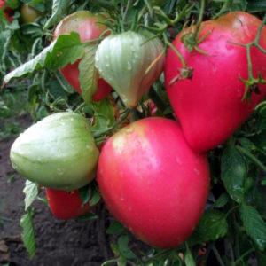 Сорт томата Фиделио: фото и описание