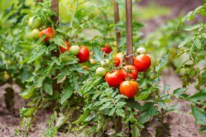 Помидоры Герцогиня вкуса: описание сорта, фото