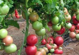 Помидоры Пинк Буш F1: описание сорта, фото, видео, выращивание в теплице