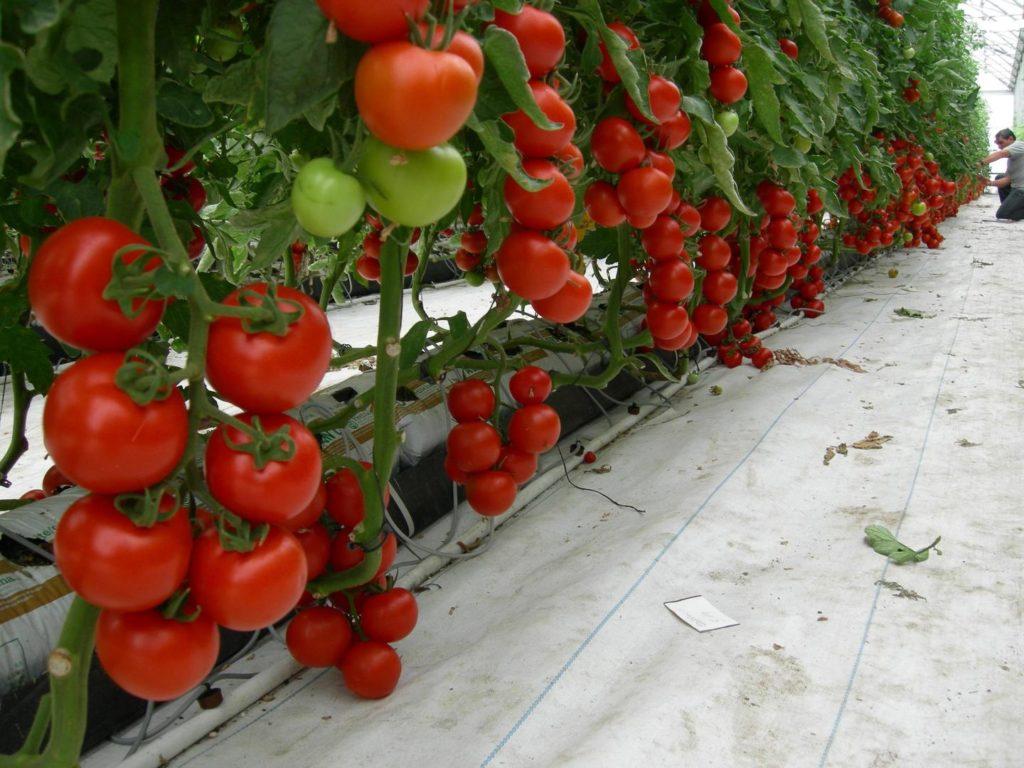 большинство сорта помидор для теплиц с картинками которой