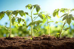 Томат Сахарная Настя: характеристика и описание сорта, фото, урожайность