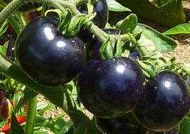 Томат Черная гроздь F1: описание и фото