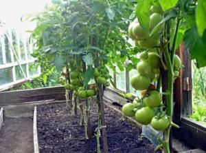Томат Кострома F1: характеристика и описание сорта, фото, урожайность