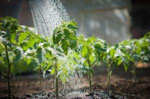 Помидоры Алый мустанг: описание сорта, фото, урожайность