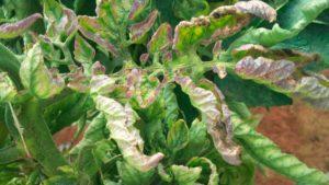 Помидоры Розовые щечки: описание сорта с фото