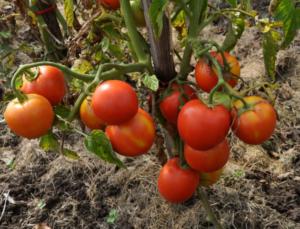 Томат Ирина F1: характеристика и описание сорта, фото, урожайность