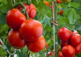 Сорт томата Аляска: характеристика и описание, фото