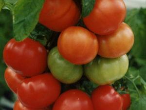 Помидоры Оля F1: описание сорта, фото, урожайность