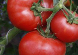 Сорт помидоров Машенька: описание и фото