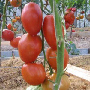 Сорт томатов Гусиное яйцо: описание, фото, урожайность