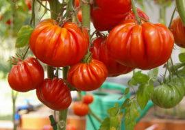Сорт томата Нина: описание, фото и видео
