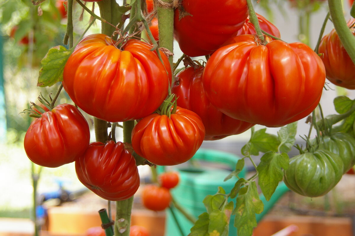 область редкие сорта помидоров фото книги должны быть