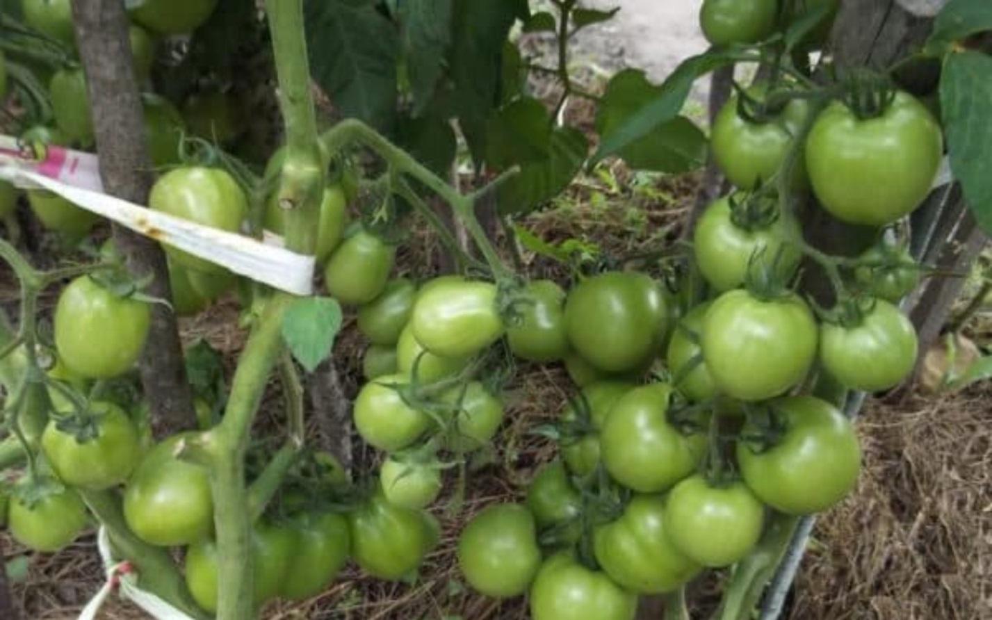 этом помидоры сорта бенито отзывы с фото обычная ситуация примеру