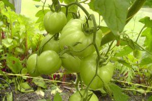 Помидоры Андреевский сюрприз: описание сорта, фото, урожайность