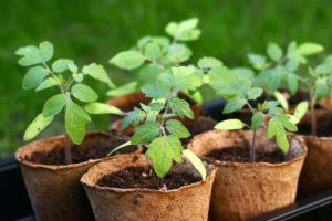 Томат Диаболик F1: описание и характеристика сорта, фото куста, урожайность