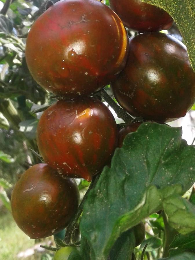 Сорта томатов с полосатым окрасом