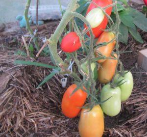 Сорт томатов Каспар F1: описание, фото, урожайность
