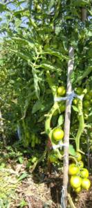 Сорт томата Сызранская пипочка: фото и описание